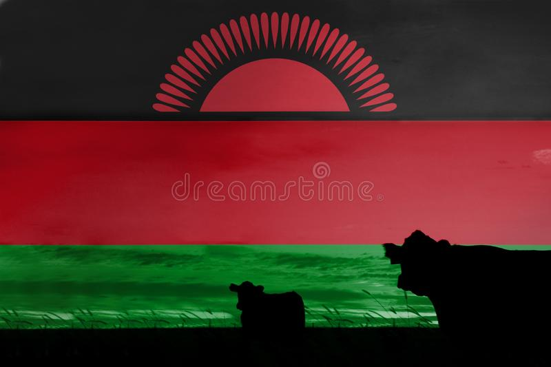 Consumption and production of cattle in countries with the flag of Malawi.  vector illustration