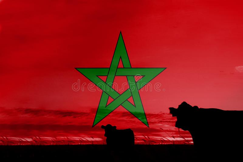 Consumption and production of cattle in countries with the flag of Morocco.  vector illustration
