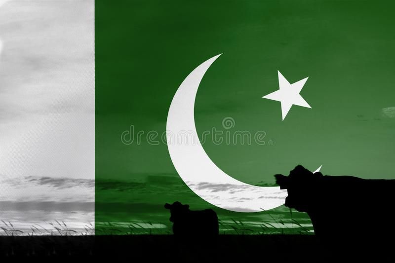 Consumption and production of cattle in countries with the flag of Pakistan.  royalty free stock photo