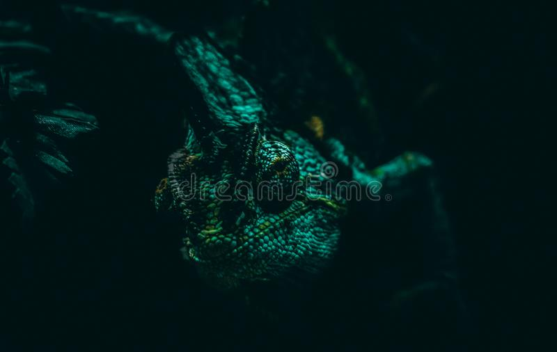 Contact visuel avec un caméléon photographie stock libre de droits