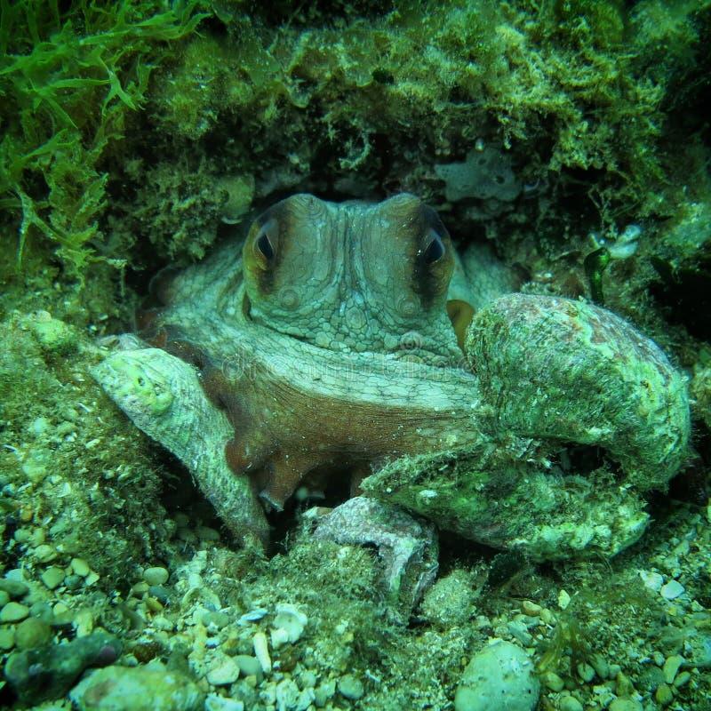 Contact visuel de poulpe photographie stock libre de droits