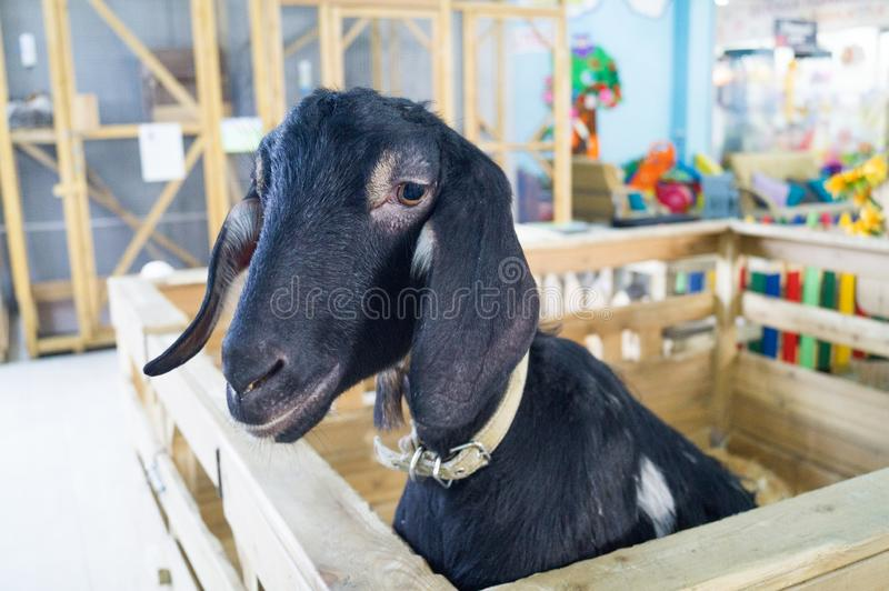 Contact Zoo. Animal black goat is behind the fence stock photo