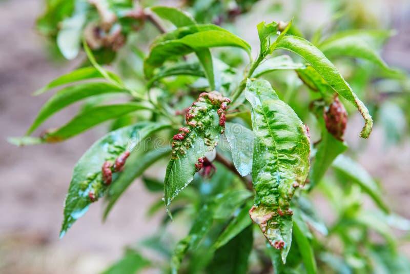 Contacto del brote de la enfermedad de la hoja las hojas del árbol fotografía de archivo