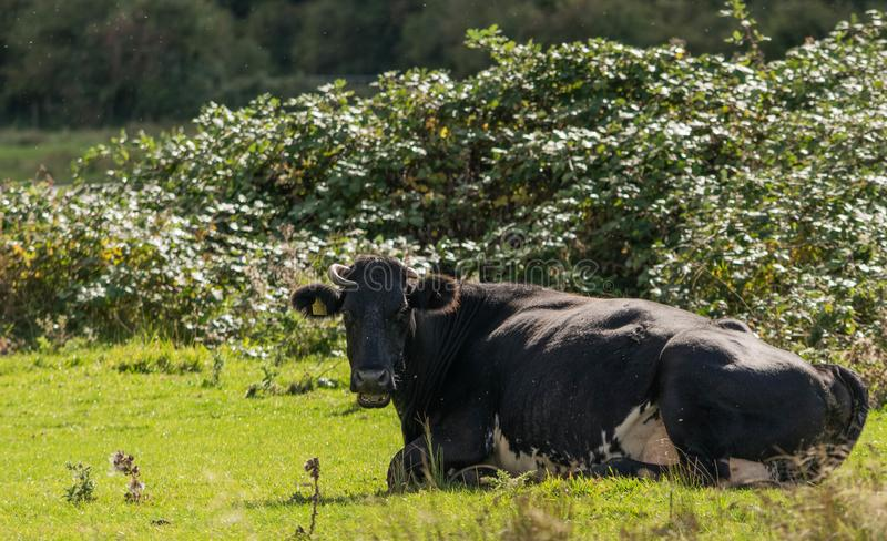 Contacto visual con una vaca blanco y negro fotografía de archivo libre de regalías