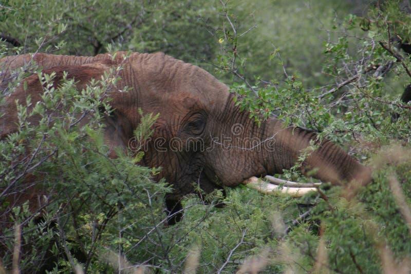 Contacto visual del elefante imagen de archivo libre de regalías