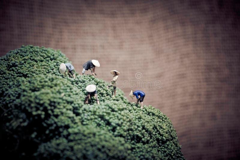 Contadini asiatici miniatura che raccolgono i broccoli fotografia stock libera da diritti