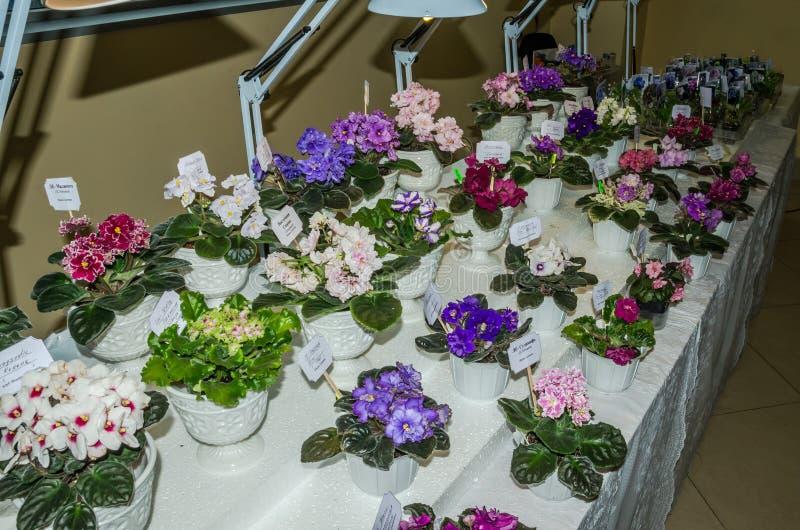 Contador con las violetas florecientes coloreadas de las flores en los potes, lámparas encendidas en la exposición en Lviv, Ucran imagenes de archivo