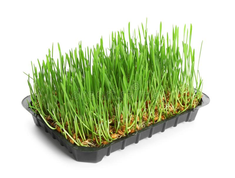 Container with sprouted wheat grass seeds on white. Background royalty free stock images