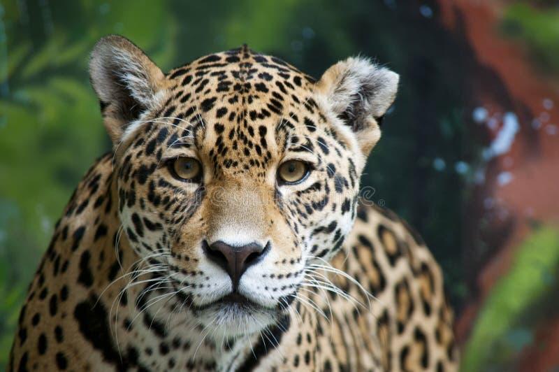 Contato de olho de Jaguar fotos de stock royalty free