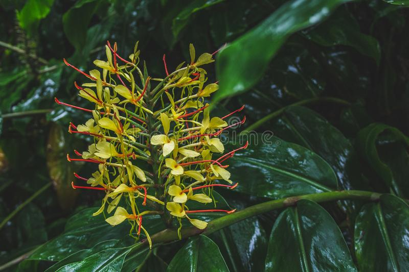Conteira Hedychium gardnerianum flowers growing in the green forests on Sao Miguel Island, Azores, Portugal.  stock image