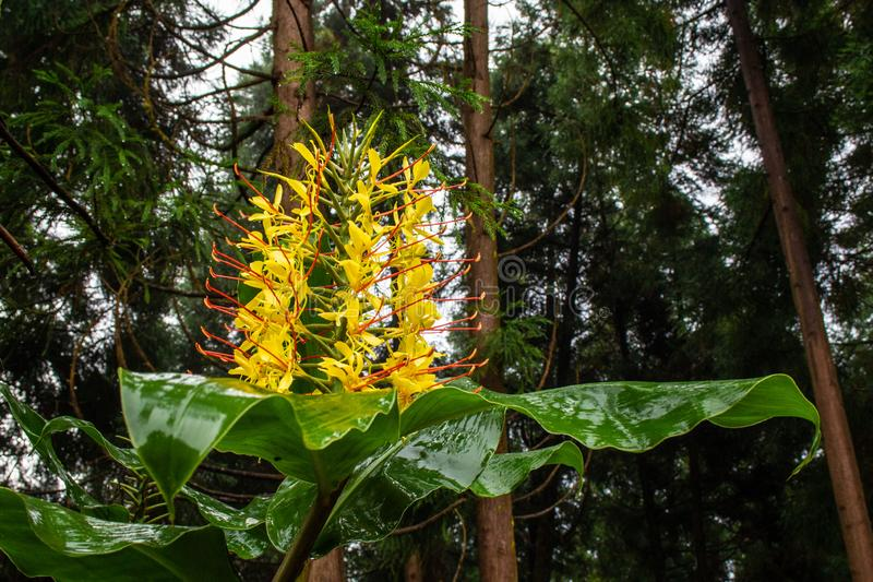 Conteira Hedychium gardnerianum flowers growing in the green forests on Sao Miguel Island, Azores, Portugal.  stock photos