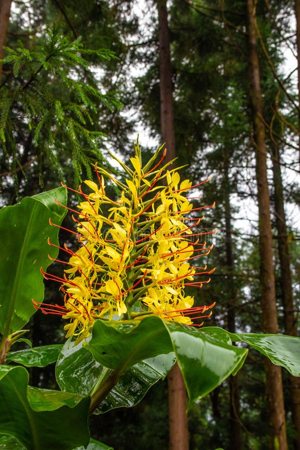 Conteira Hedychium gardnerianum flowers growing in the green forests on Sao Miguel Island, Azores, Portugal.  stock photography