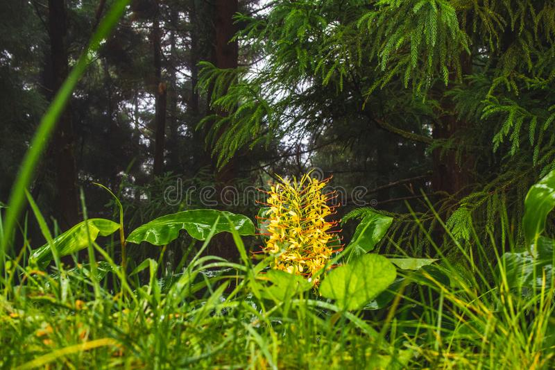 Conteira Hedychium gardnerianum flowers growing in the green forests on Sao Miguel Island, Azores, Portugal.  royalty free stock photos