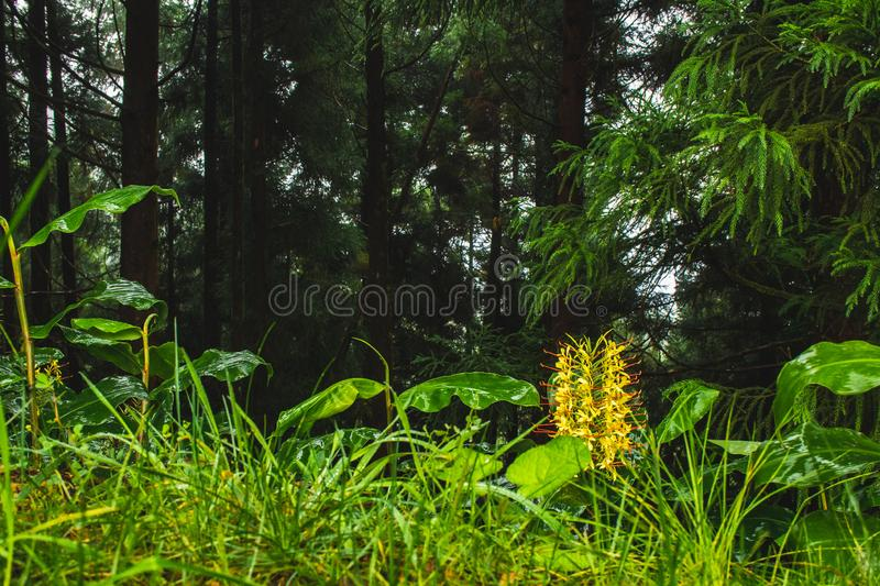 Conteira Hedychium gardnerianum flowers growing in the green forests on Sao Miguel Island, Azores, Portugal.  royalty free stock image