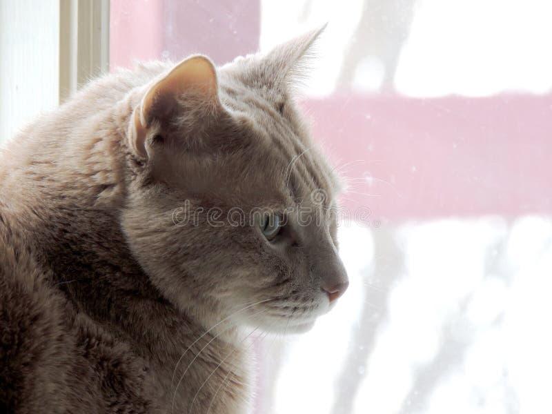 Contemplando o gato na janela foto de stock