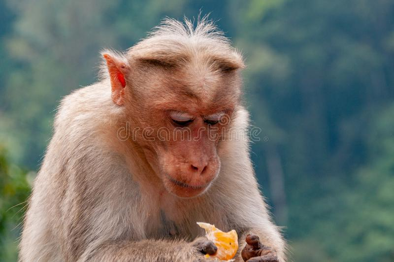 Rhesus Macaque Contemplating its tangerine treat which it is holding. Contemplating the fruit, perhaps thinking about life, the universe and everything royalty free stock image