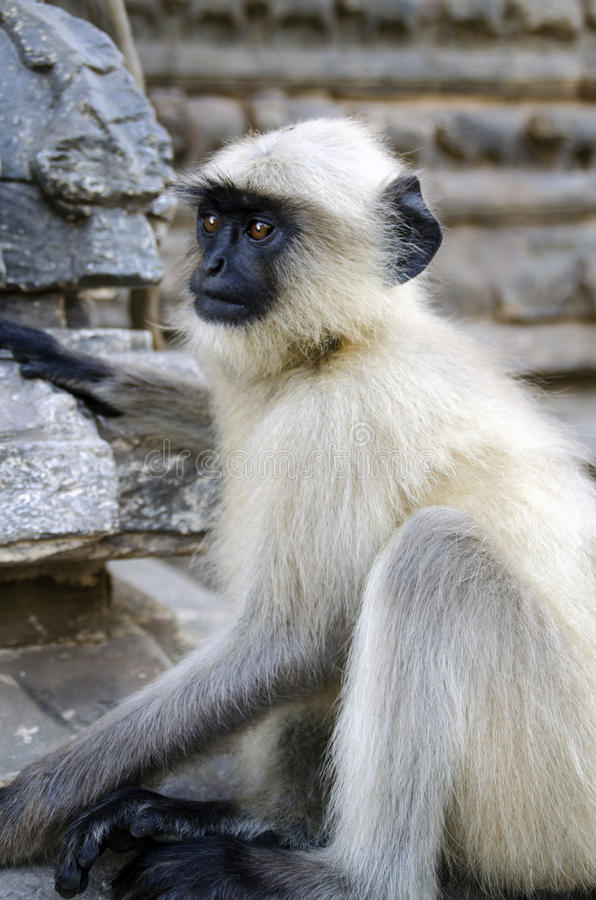 Contemplating monkey. White fur monkey sitting in a temple royalty free stock photos