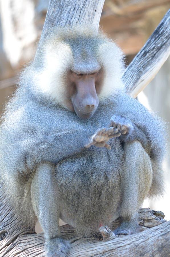 Contemplazione del babbuino fotografie stock libere da diritti