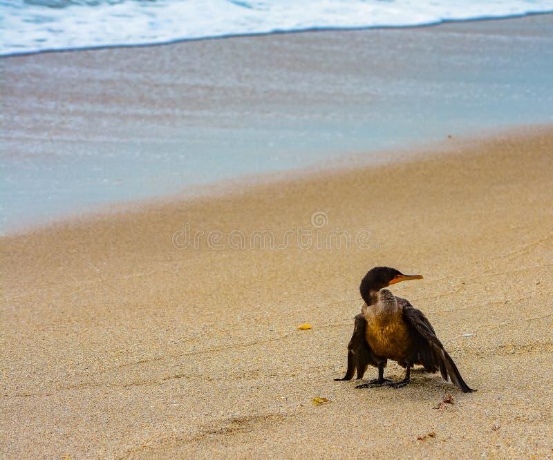 Contemplazione del Cormorant fotografia stock