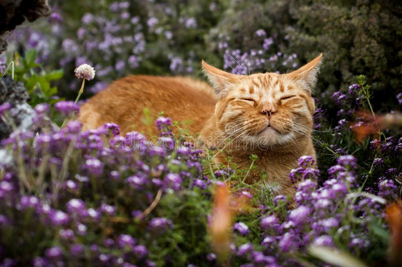 Orange tabby cat enjoying the sun on his face in a patch of purple flowers. Content orange tabby cat scenting the breeze in a flower patch purple sweet alyssum stock images