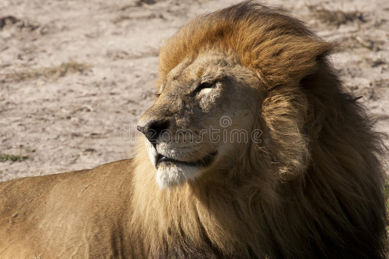 Download Contented Adult Male Lion Basking In The Sun Stock Image - Image: 25442809