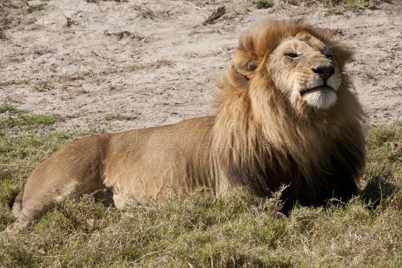 Download Contented regal lion stock photo. Image of body, relaxing - 25077110