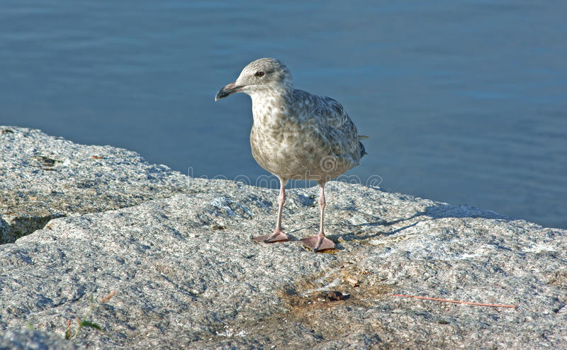 Download Contented Young Gull Stock Photos - Image: 15225133