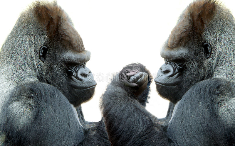 The contest. Arm wrestling gorillas royalty free stock image