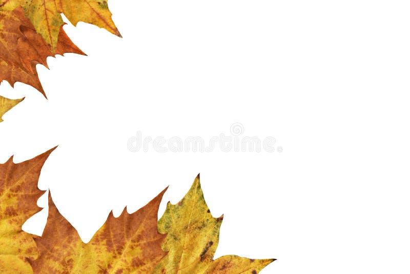 Contesto asciutto del confine delle foglie di acero isolato su fondo bianco immagine stock