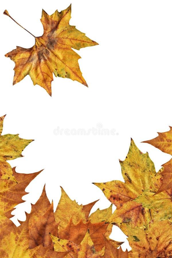 Contesto asciutto del confine delle foglie di acero isolato su fondo bianco fotografia stock libera da diritti
