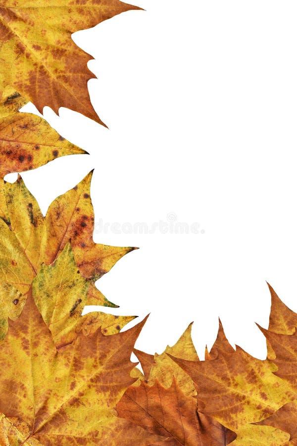 Contesto asciutto del confine delle foglie di acero isolato su fondo bianco immagini stock