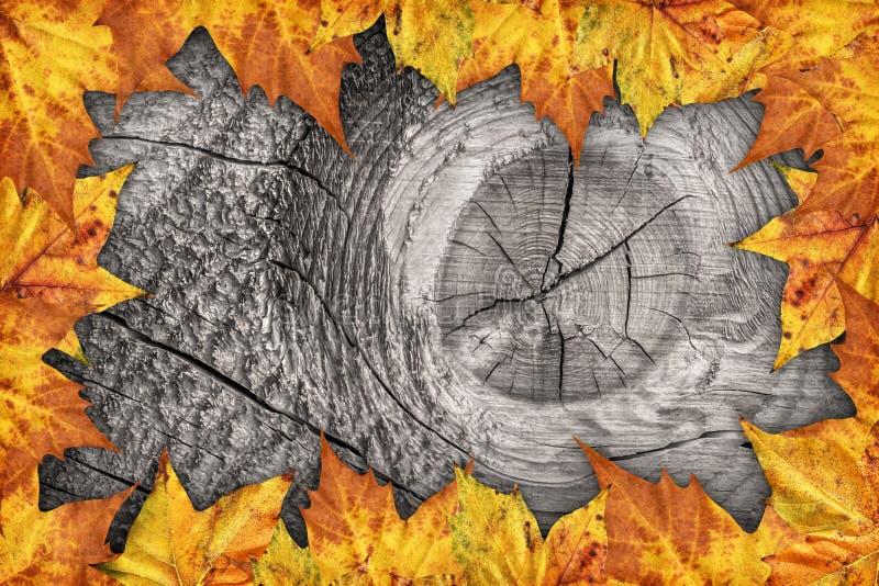 Contesto asciutto del confine delle foglie di acero su vecchio fondo di legno annodato immagine stock libera da diritti
