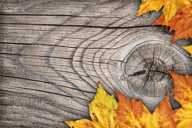 Contesto asciutto del confine delle foglie di acero su vecchio fondo di legno annodato immagini stock
