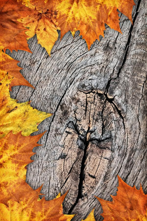 Contesto asciutto del confine delle foglie di acero su vecchio fondo di legno annodato fotografie stock libere da diritti