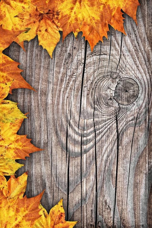 Contesto asciutto del confine delle foglie di acero su vecchio fondo di legno annodato fotografia stock libera da diritti