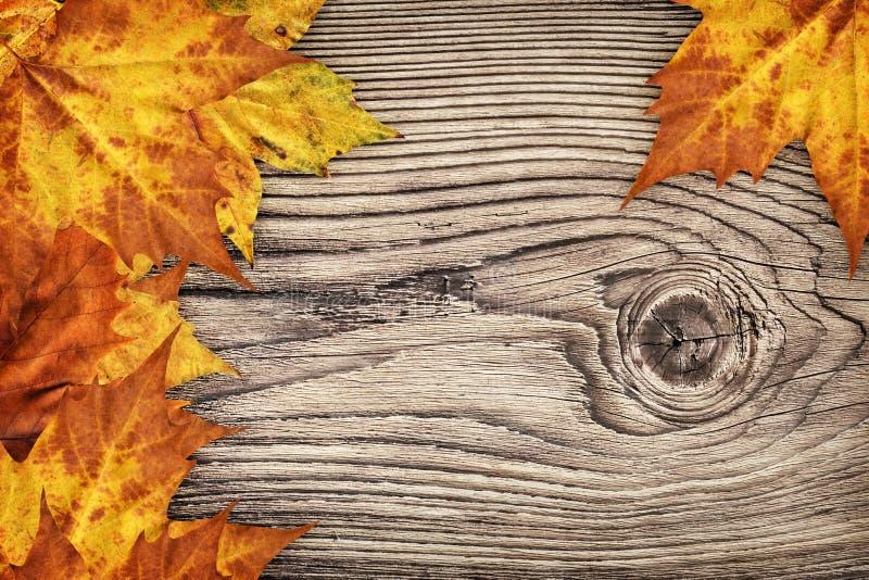 Contesto asciutto del confine delle foglie di acero su vecchio fondo di legno annodato fotografie stock