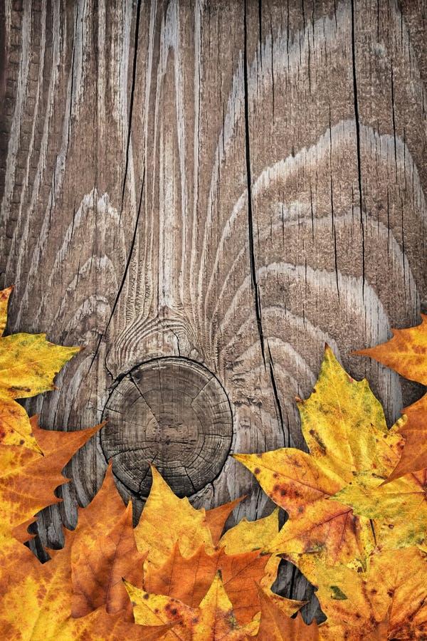 Contesto asciutto del confine delle foglie di acero su vecchio fondo di legno annodato fotografia stock