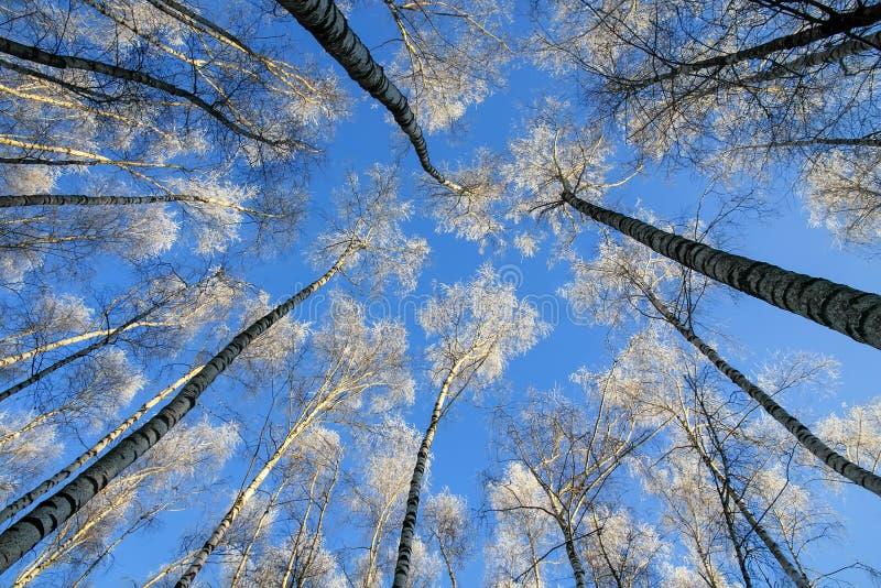 Contesto dei tronchi lunghi e snelli degli alberi di betulla che raggiungono a fotografia stock libera da diritti