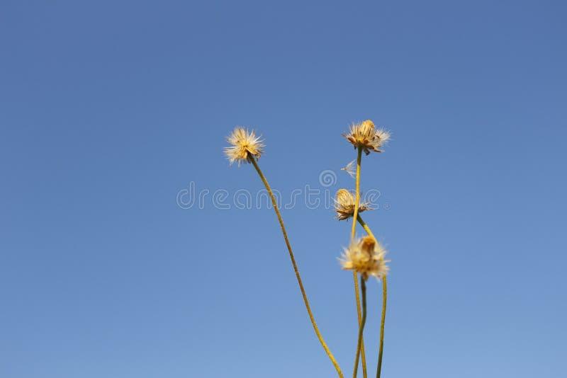 Contesto del cielo blu del fiore immagine stock libera da diritti