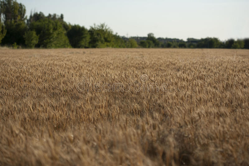 Contesto delle orecchie di maturazione del giacimento di grano giallo sui precedenti arancio nuvolosi del cielo di tramonto Copi  fotografie stock libere da diritti