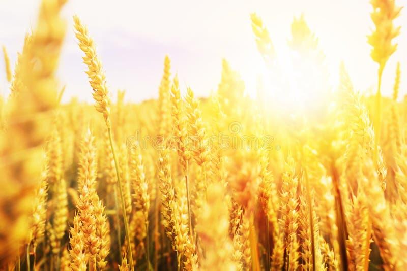 Contesto delle orecchie di maturazione del giacimento di grano giallo sui precedenti arancio nuvolosi del cielo di tramonto Copi  fotografia stock libera da diritti