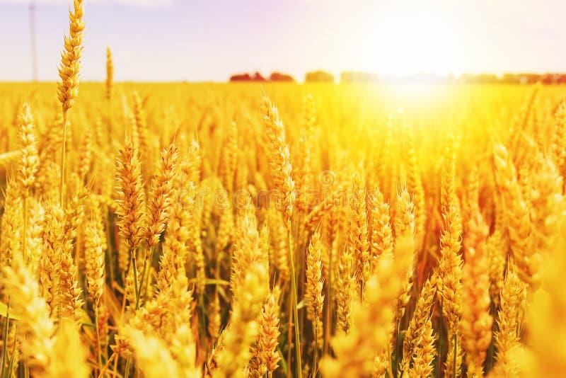 Contesto delle orecchie di maturazione del giacimento di grano giallo sui precedenti arancio nuvolosi del cielo di tramonto Copi  immagini stock