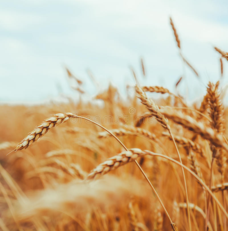 Contesto delle orecchie di maturazione del giacimento di grano giallo sul Cl di tramonto immagine stock