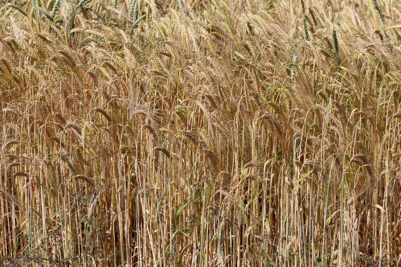 Contesto delle orecchie di maturazione del giacimento di grano giallo fotografie stock