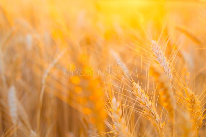 Contesto delle orecchie di maturazione del giacimento di grano giallo sui precedenti arancio nuvolosi del cielo di tramonto con l fotografia stock libera da diritti