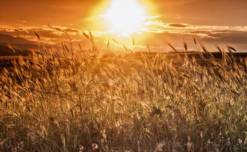 Contesto delle orecchie di maturazione del giacimento di grano giallo sul tramonto immagini stock libere da diritti