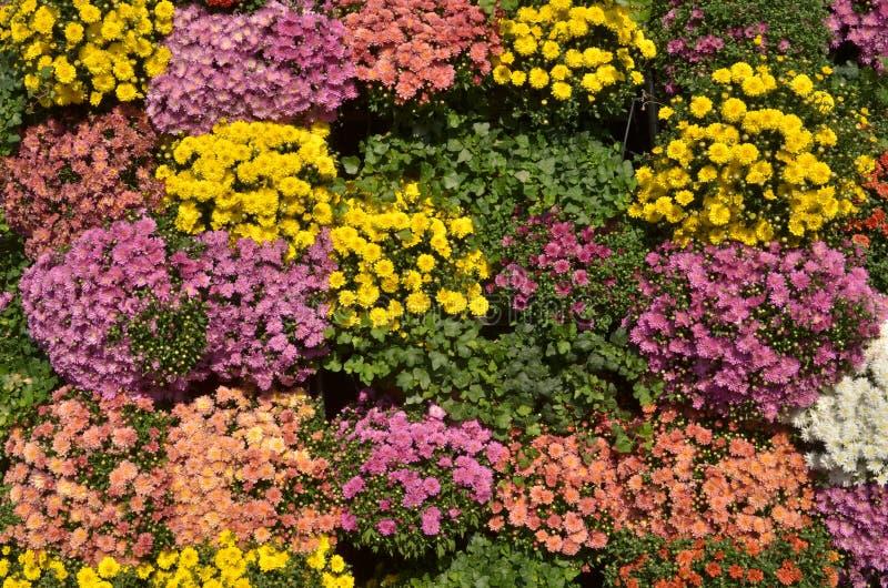 Contesto variopinto del crisantemo Fiori di autunno fotografie stock