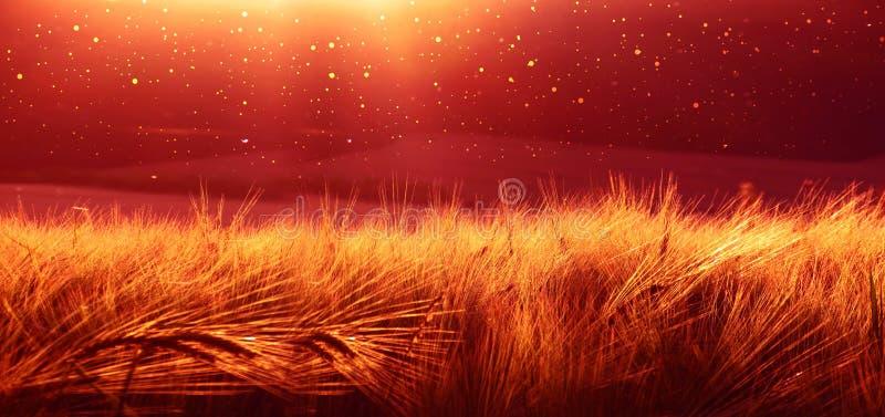 Contexte d'orge de maturation de champ de blé sur le ciel de coucher du soleil Fond d'Ultrawide Lever de soleil Le ton de la phot image libre de droits