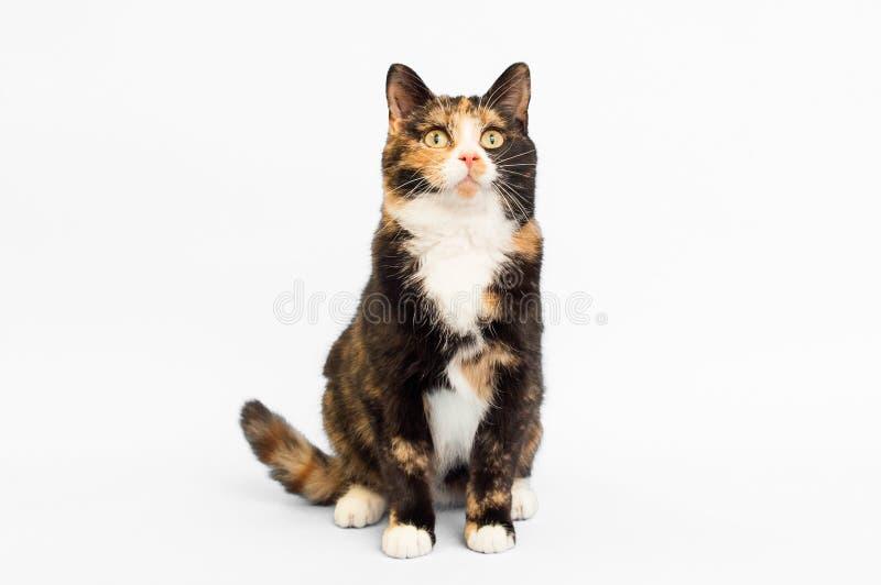 Contexte de blanc de chat de calicot images stock
