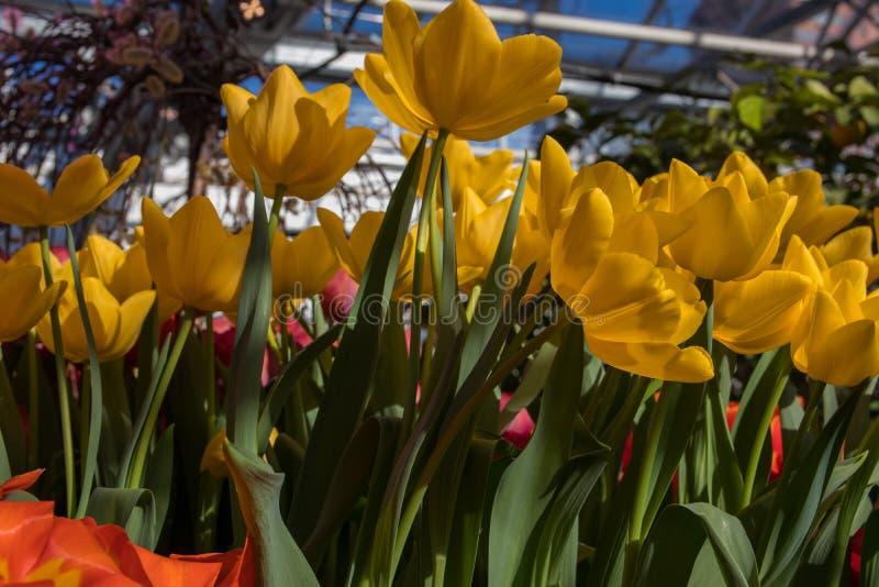Contexto bonito do fundo com grupo de tulipas coloridas brilhantes no jardim Foco seletivo de luz natural imagens de stock